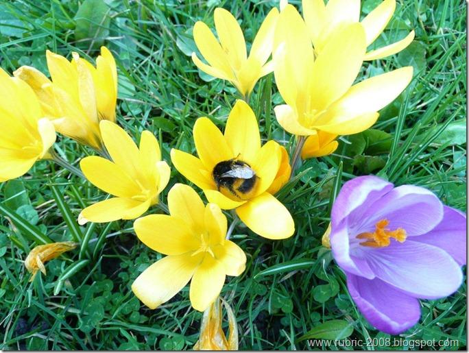 Пчелка и крокусы