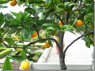 Хэнбери Холл, апельсины