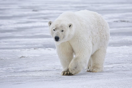 http://commons.wikimedia.org/wiki/File:Polar_Bear_-_Alaska.jpg