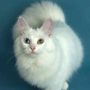 Кот ангорской породы