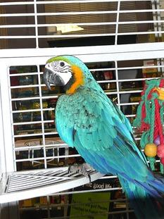 Melbicks-попугай
