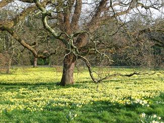 Daffodils, Wales, Penrhyn Castle
