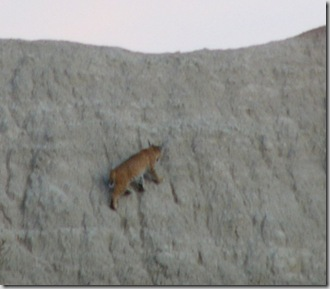 bd bobcat