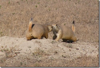 bd prairie dog kissing