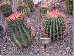 Ferocactus gracilis ssp coloratus