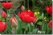 Tulipa Abba