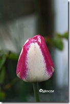 Tulipa Hot Pants