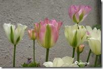 Tulipa Grønland og Spring Green