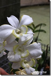 Dendrobium-Emma-White-mutat