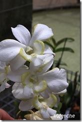 Dendrobium-Emma-White-mutat