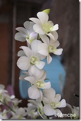 Dendrobium-New-Eama