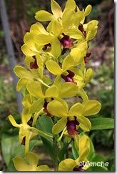 Dendrobium-Paitooi-Gold