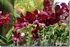 Dendrobium-Lipstick-x-Berth