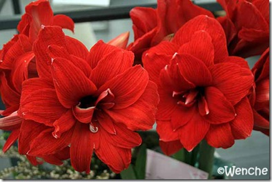 Hippeastrum-Double-Dragon