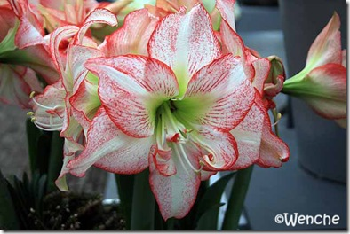 Hippeastrum-Double-Record
