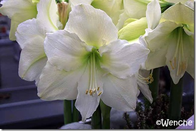 Hippeastrum-Mont-Blanc