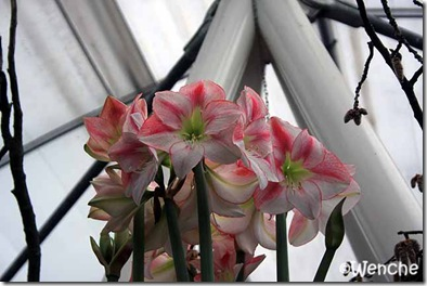 Hippeastrum-San-Remo-(2)