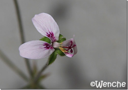 P-tomentosum-(4)