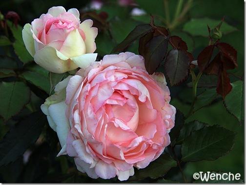 Eden rose 2