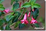 F.-thymifolia