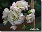 Appleblossom-Rosebud