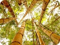 1185073407_bambus