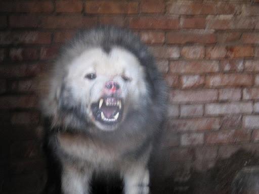 全世界最强壮的狗 (图+影)
