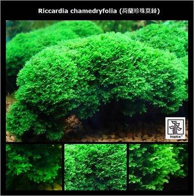 Riccardia