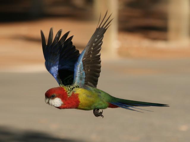 صور طيور روزيلا بجميع انواعها ، صور طفرات الروزيلا