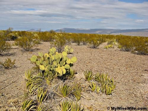 Paddle cactus or Prickly pear (middle)
