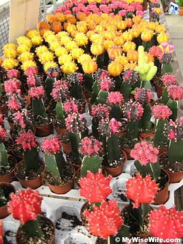 Colorful cactus on sale
