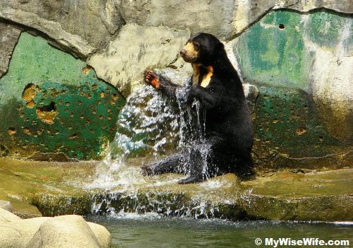 Sun Bear is bathing