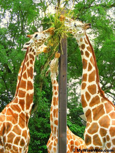 Lunch time for these giraffes!
