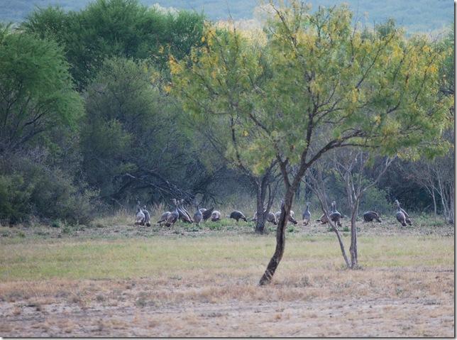 turkeys in field