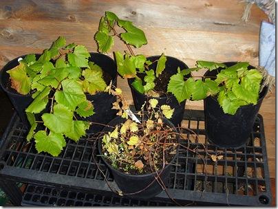 Vines & Hop plant