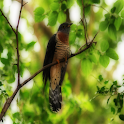 Cuckoo Birds Sound Effects