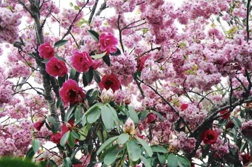 S,blossom,camelia
