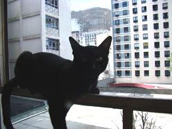 Salomão, o gato preto do blog São Paulo Urgente