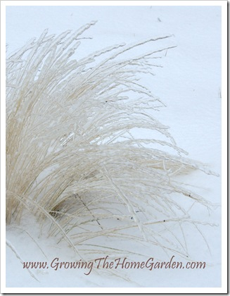 Mexican Feather Grass Encased in Ice (Stipa - Nassella tenuissima) 1-2010-1