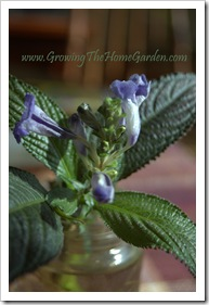 Persian Shield from Cuttings 1-2010-1