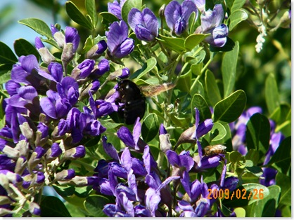 bumble bee and honey bee in the Texas Mountain Laurel tree