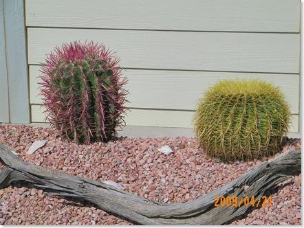 Red Barrel Cactus, left. Barrel cactus, right.