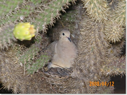 nesting doves in a Cholla cactus