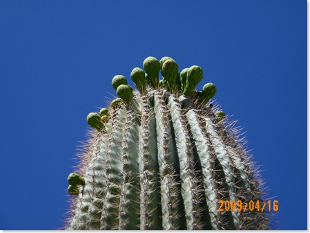 buds preparing to bloom atop a Saguaro