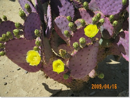 Santa Rita purple prickly pear cactus - beautiful contrast