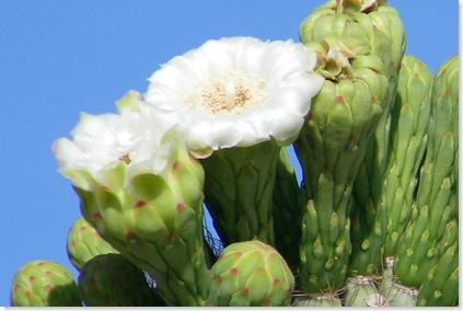 Saguaro flower up close