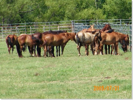 wild horses in the adoption program