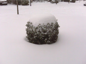 The snow on the bush shows how deep it is - that bush is flat on top.