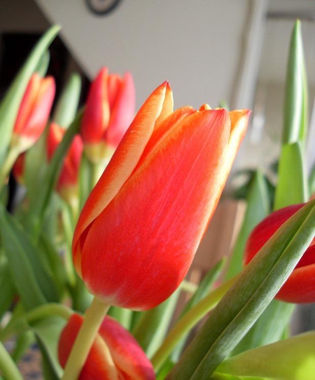 En hel favnfuld tulipaner