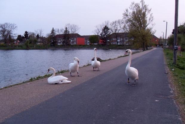svaner ved Damhussøen
